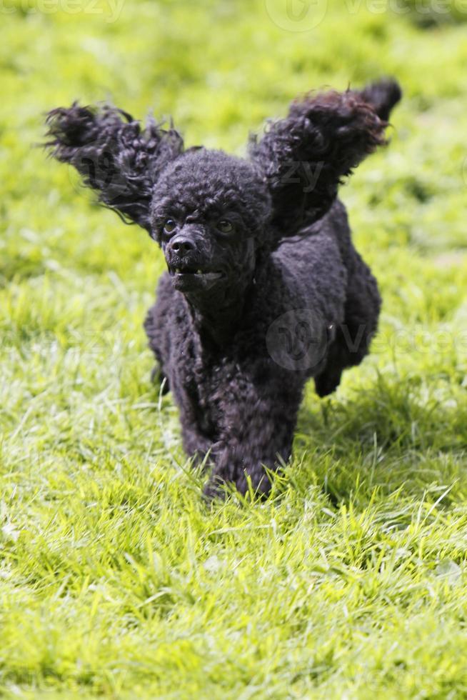 poodle em uma corrida de cães foto