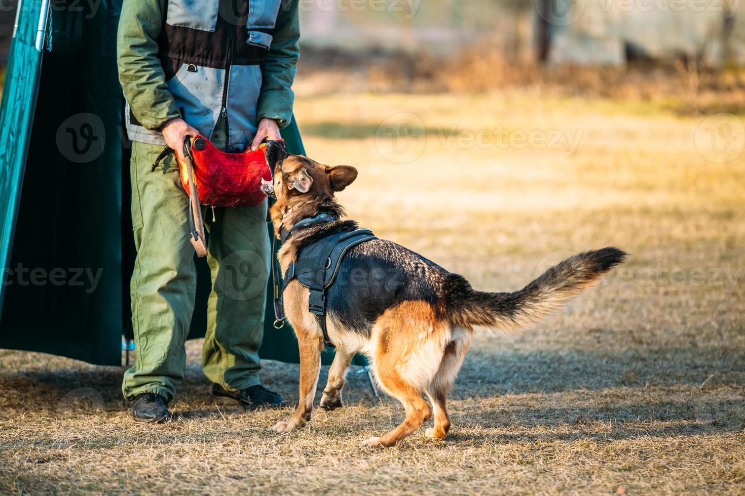 treinamento do cão de pastor alemão foto