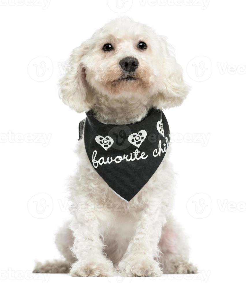 Vista frontal do poodle vestindo uma bandana, sentado foto