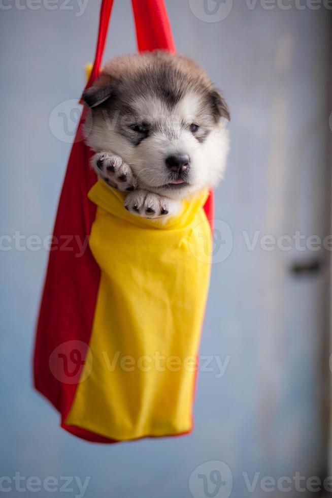 cão de trenó do alasca foto