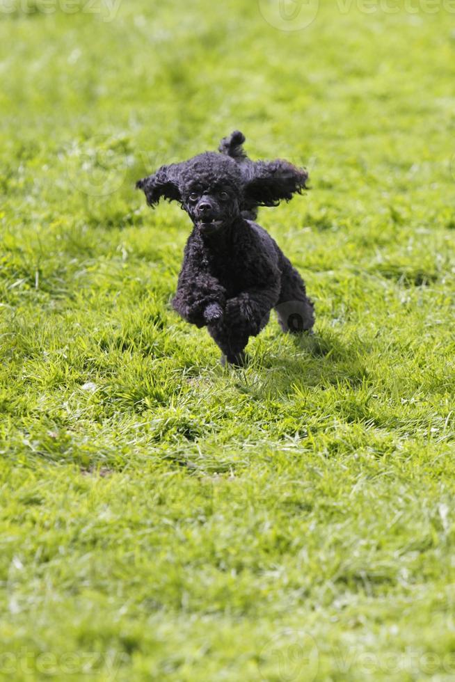 executando pequeno poodle preto foto