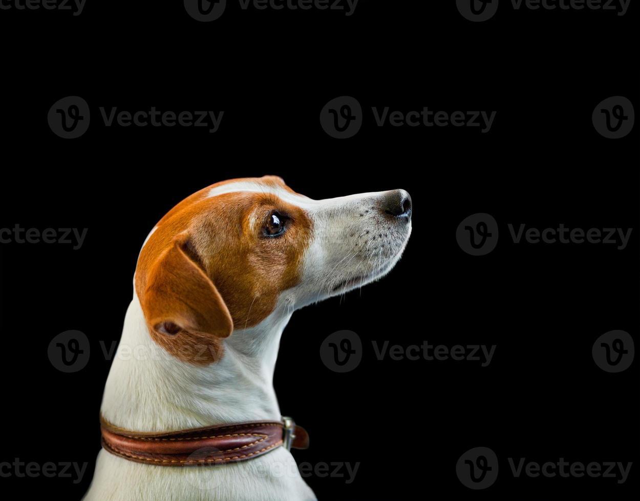 retrato de jack russel terrier em um preto foto