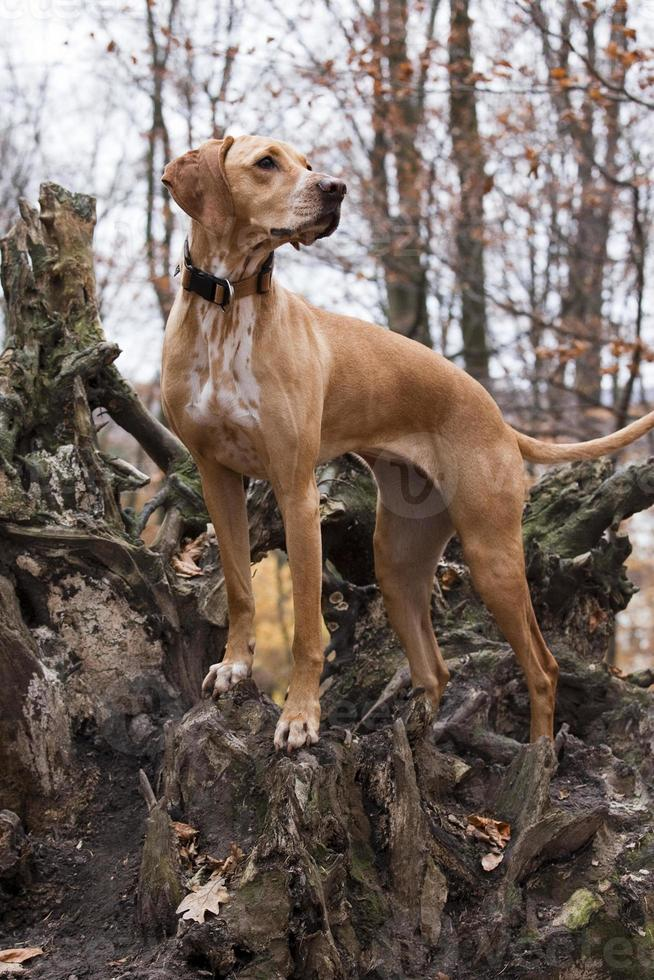 cachorro de caça foto
