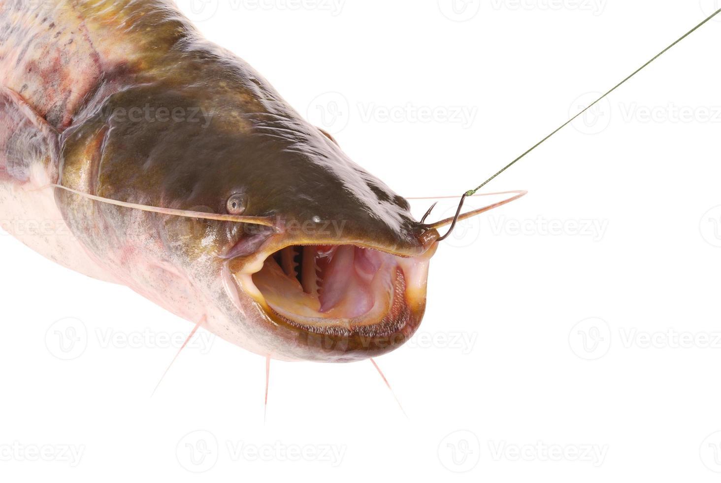 peixe-gato no anzol (caminho de recorte) foto