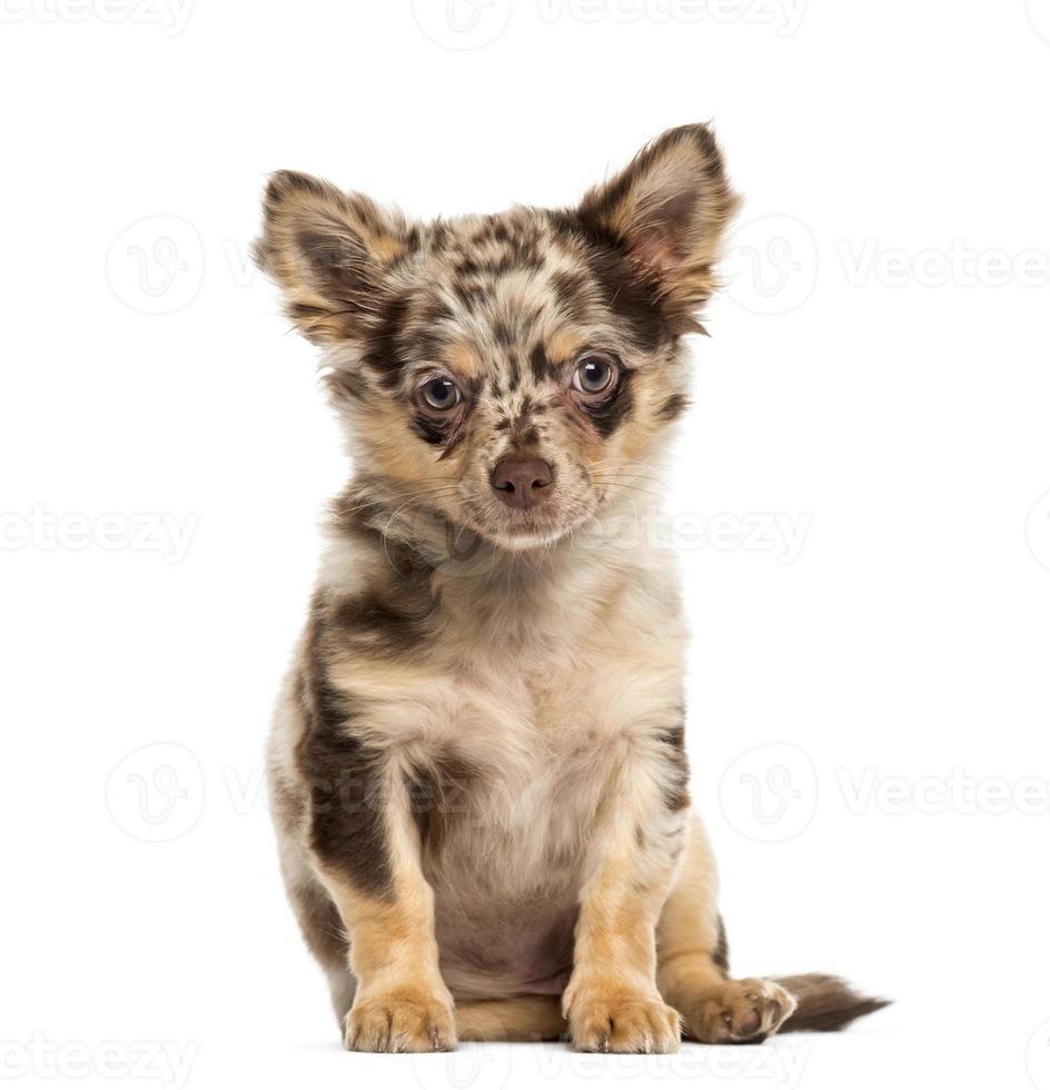 filhote de cachorro chihuahua sentado e olhando para a câmera foto