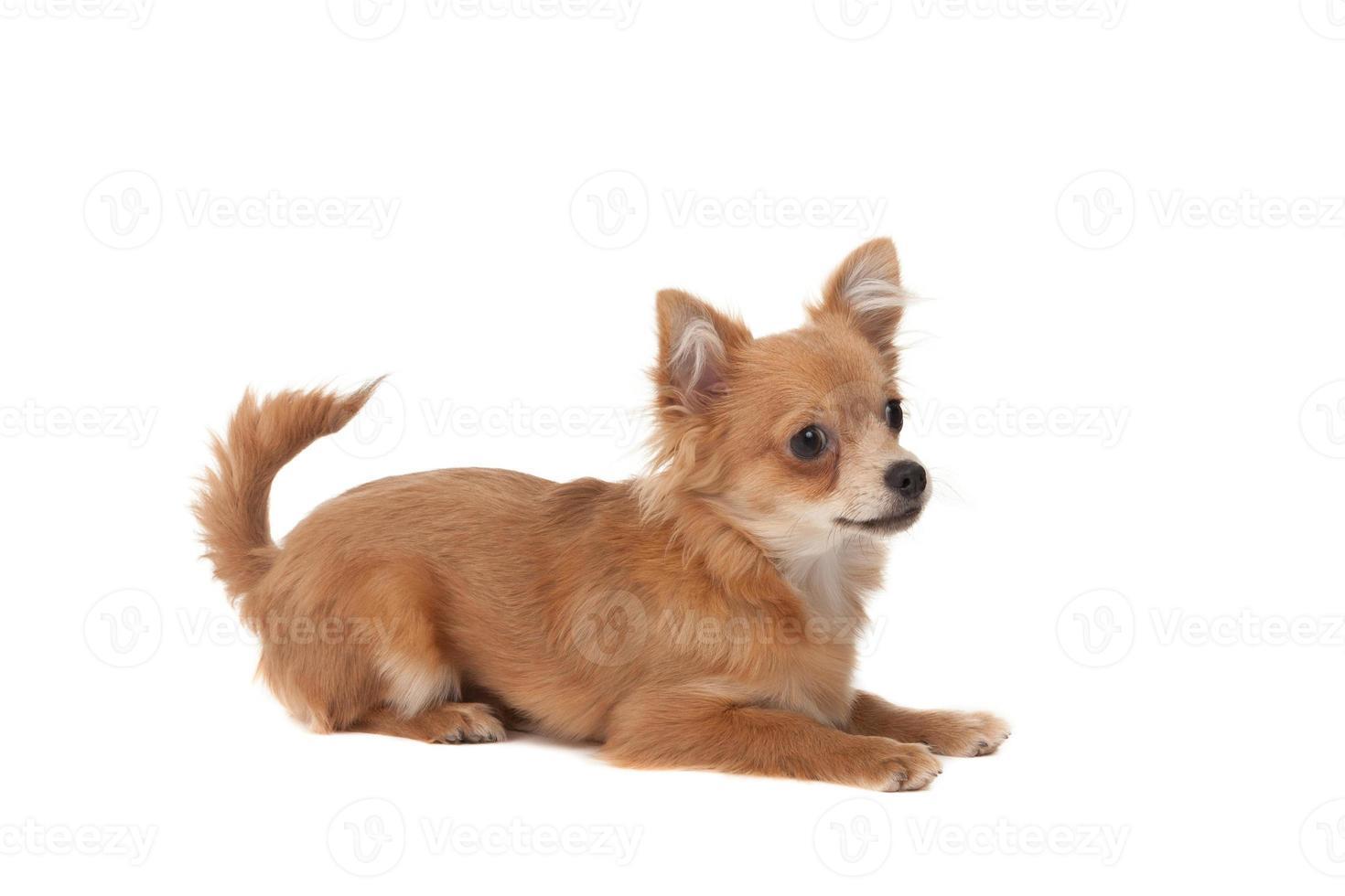 cachorro chihuahua de cabelos compridos foto