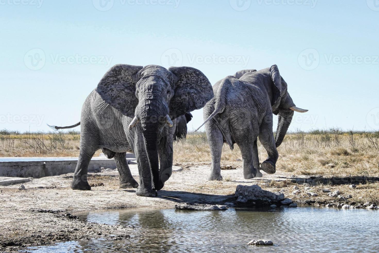 elefantes em etosha foto