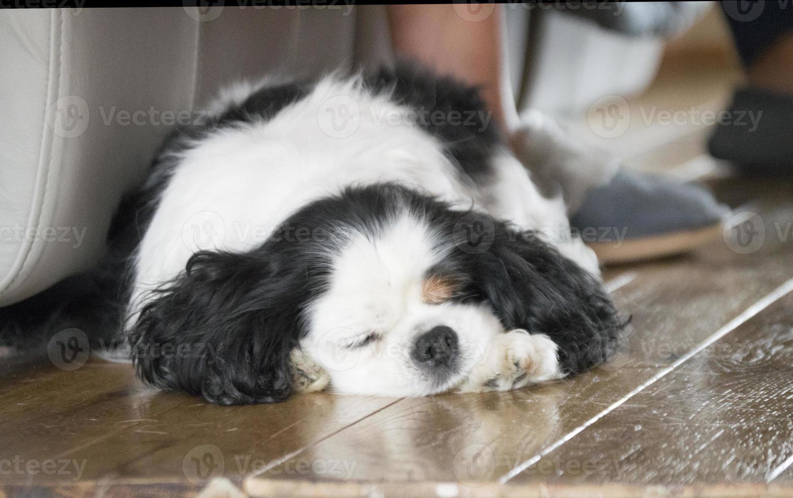 rei charles cavalier dormindo em um piso de madeira foto