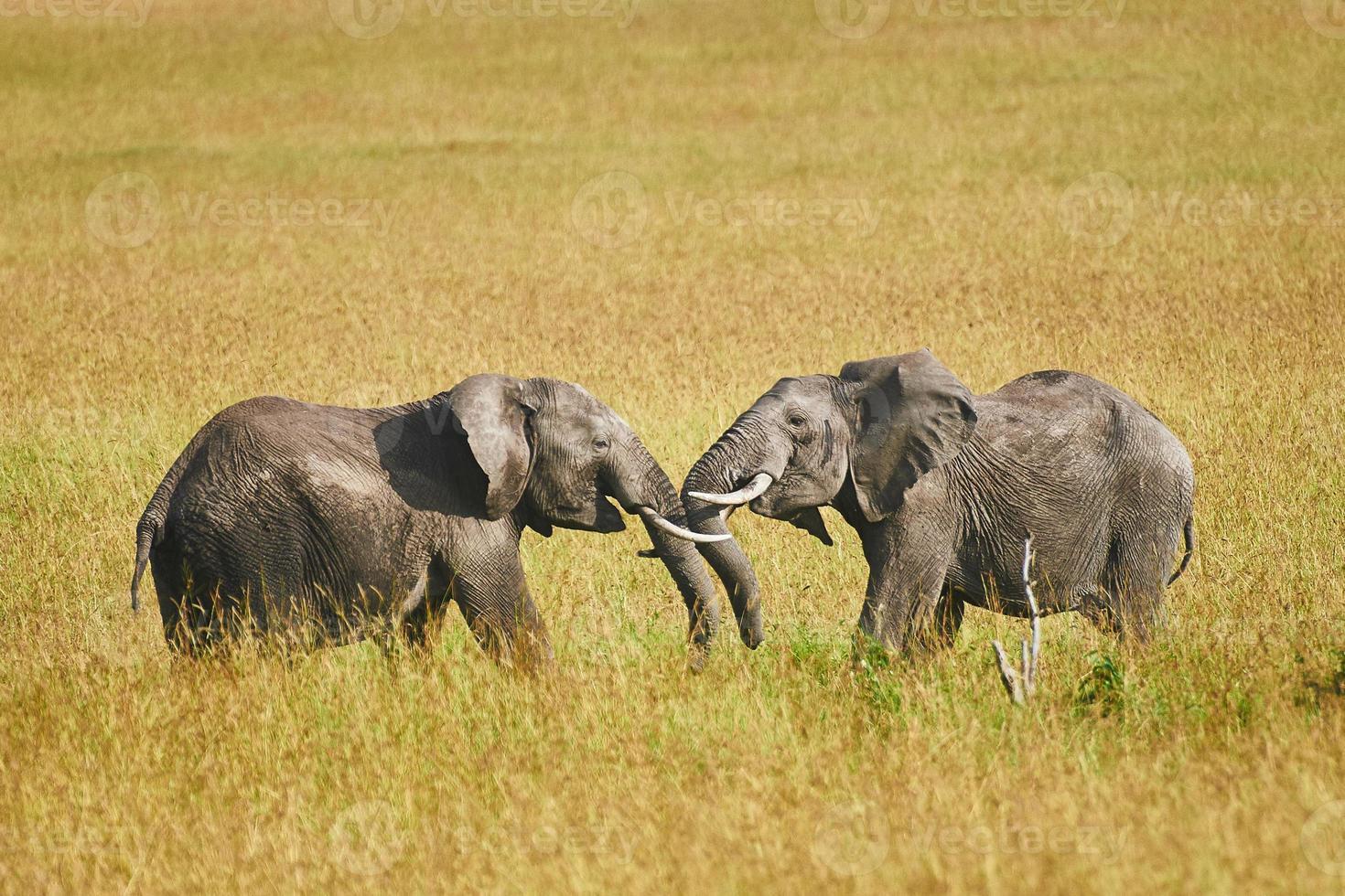 luta entre dois elefantes machos foto