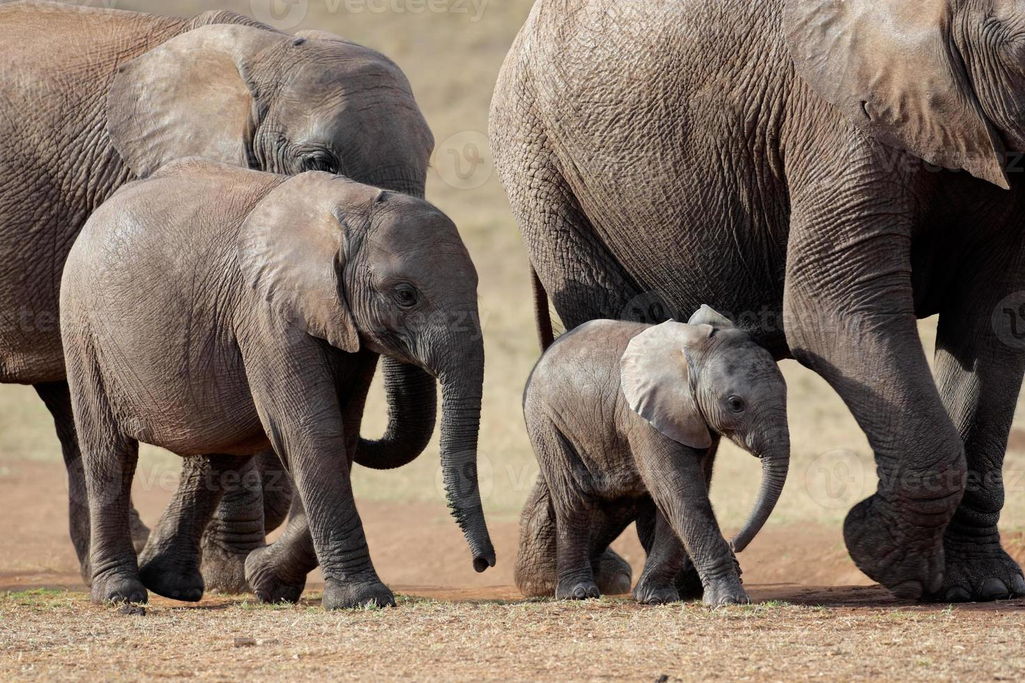 manada de elefantes africanos foto