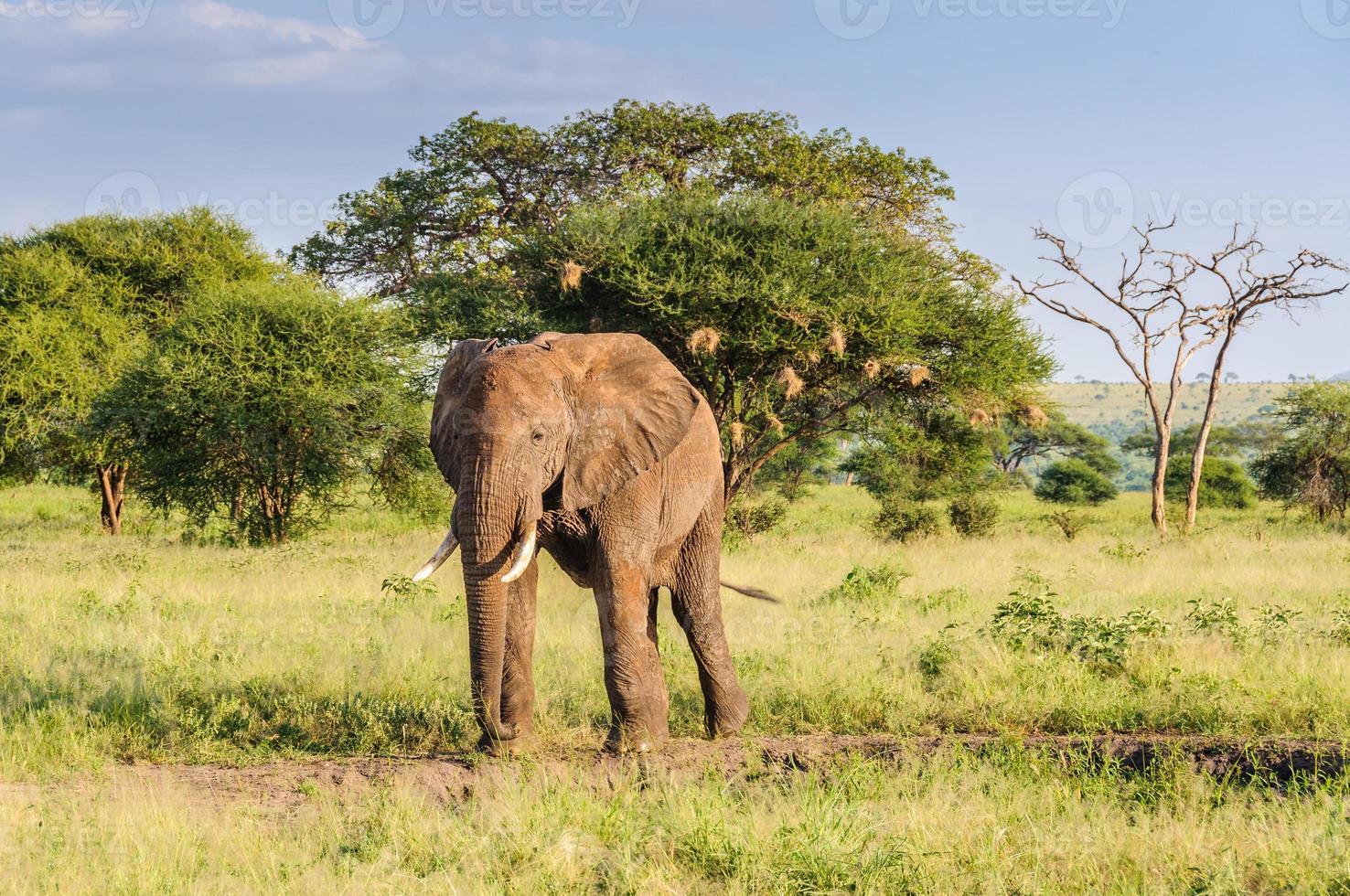 touro elefante no parque tarangire, tanzânia foto