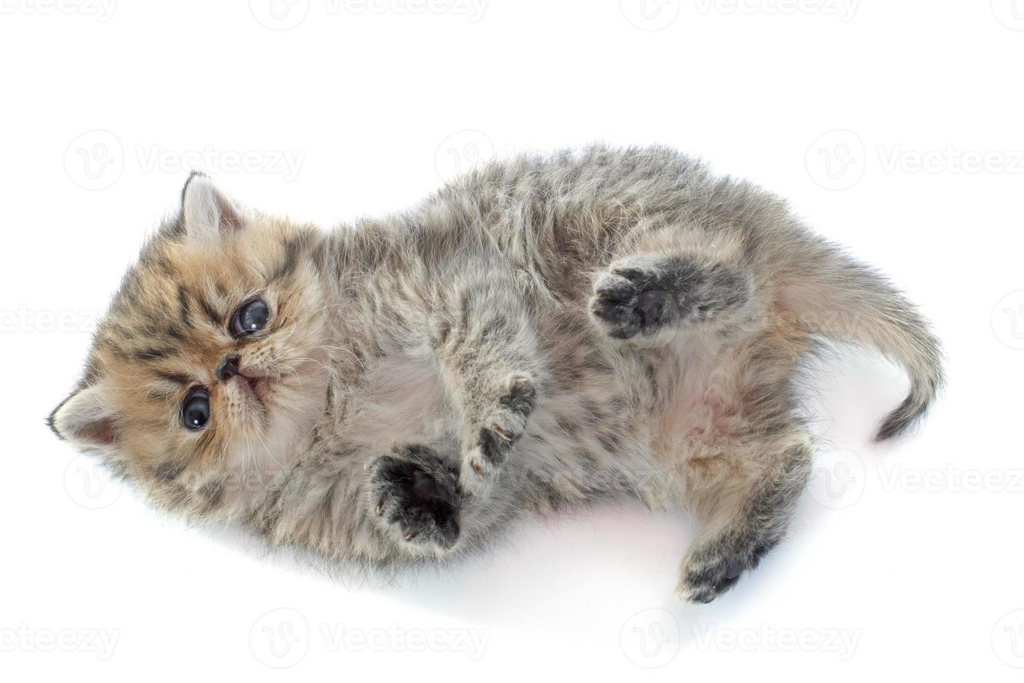shorthair exótico do gatinho foto