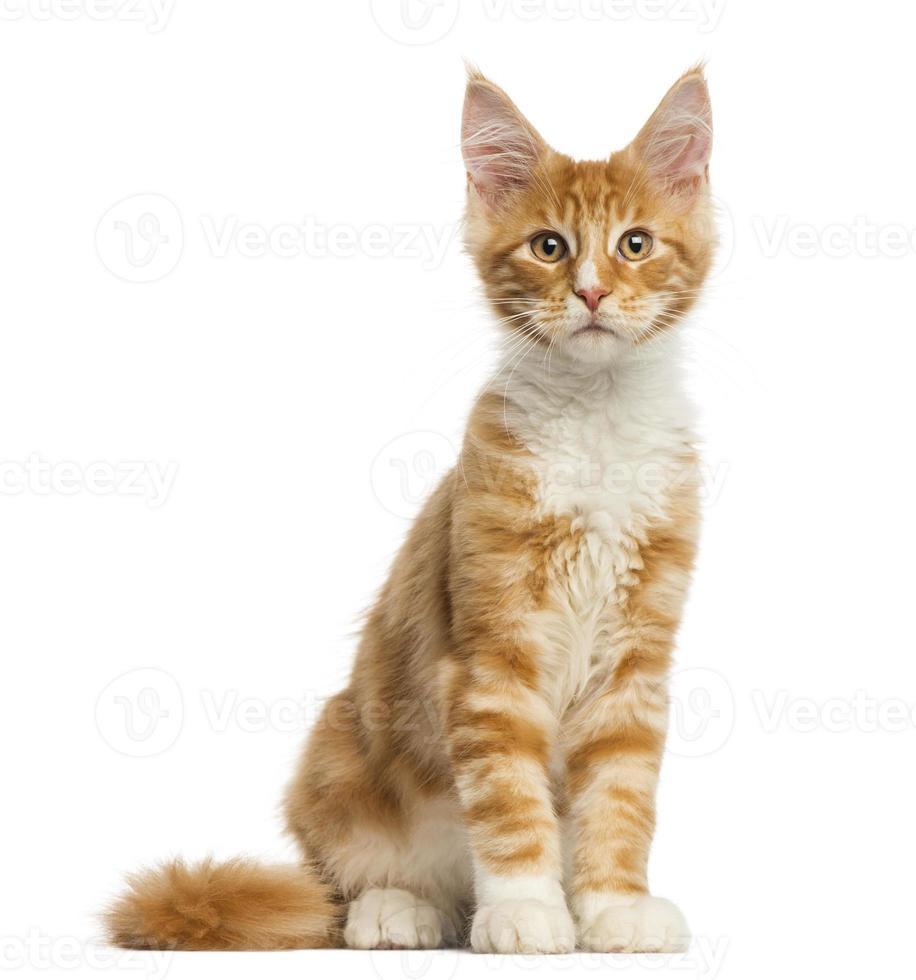 maine coon gatinho, sentado, de frente, 4 meses de idade foto