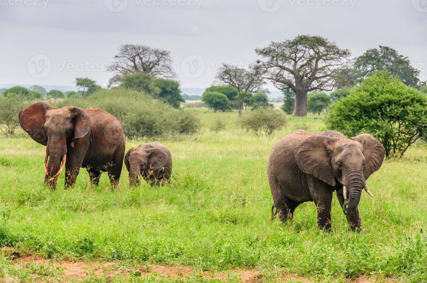 pais de elefante com bezerro no parque tarangire, tanzânia foto