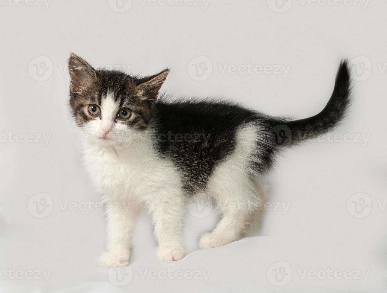 gatinho listrado e branco em pé na cinza foto