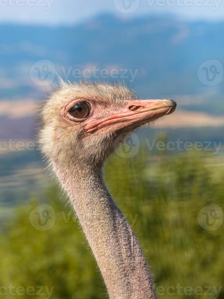 cabeça lateral de um avestruz africano foto