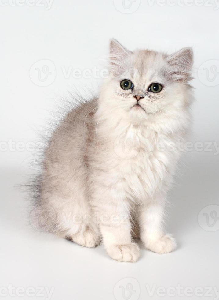 o gatinho branco foto