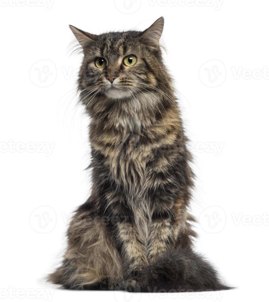 gatinho maine coon sentado (4 meses) foto