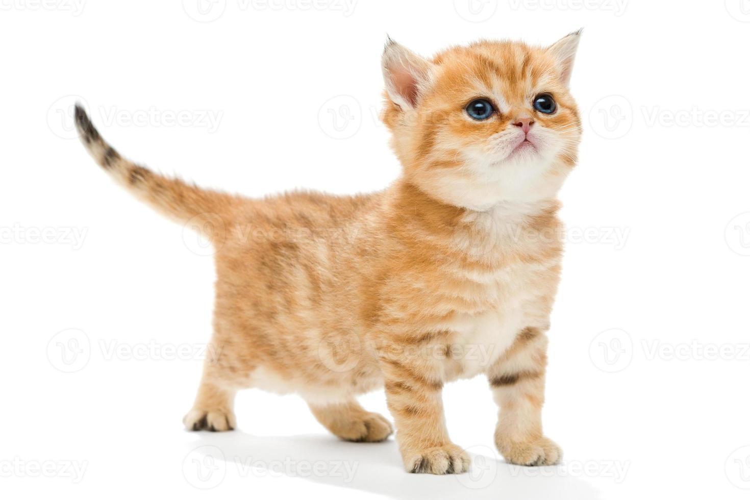 raça de gatinho britânico foto