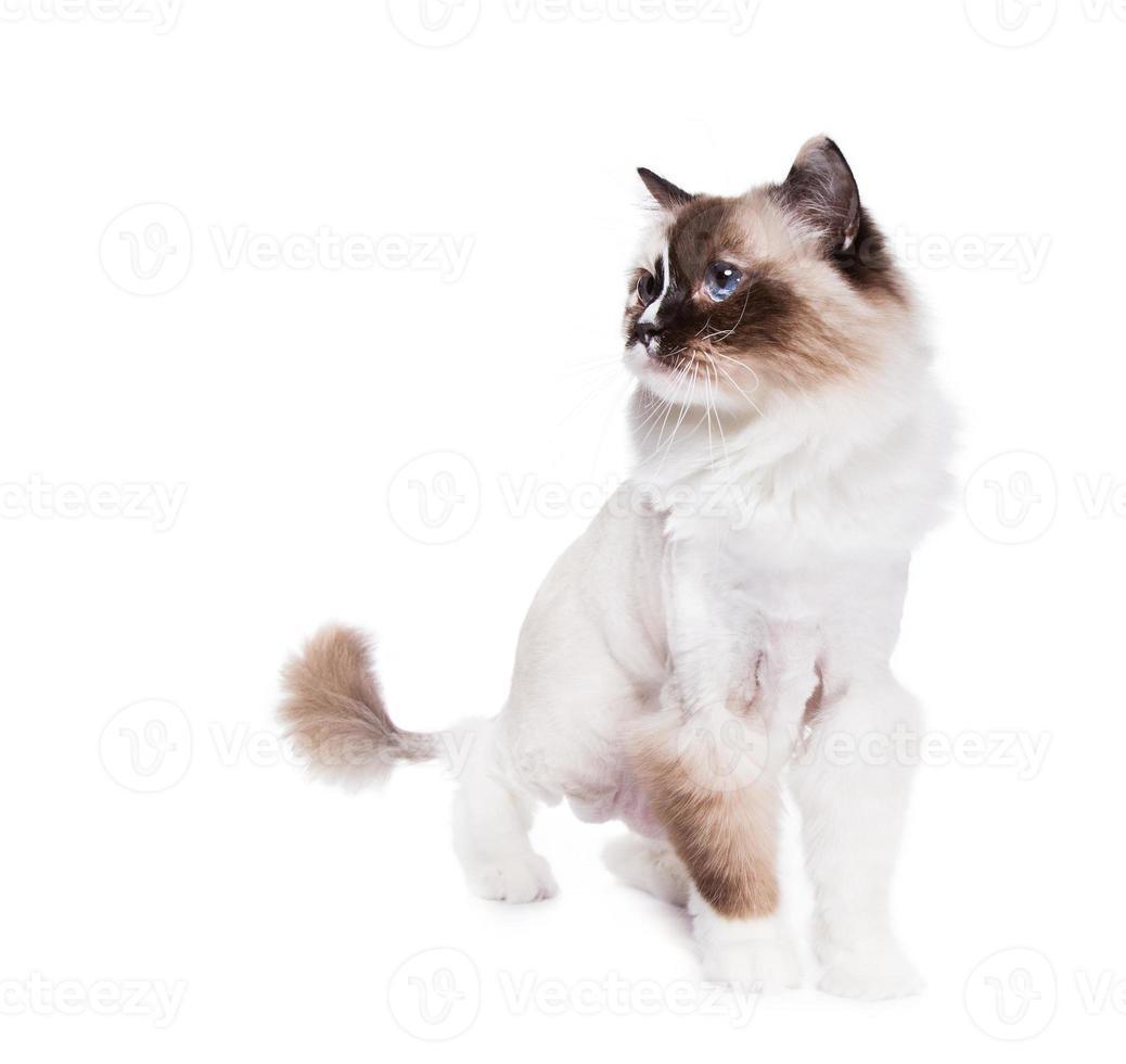 gato barbeado foto
