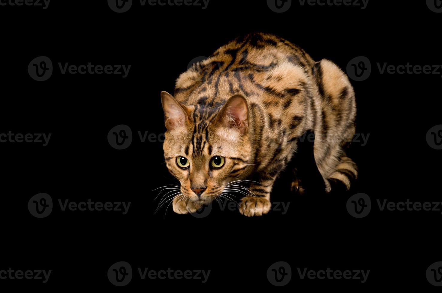gato de Bengala agachado prestes a atacar. foto