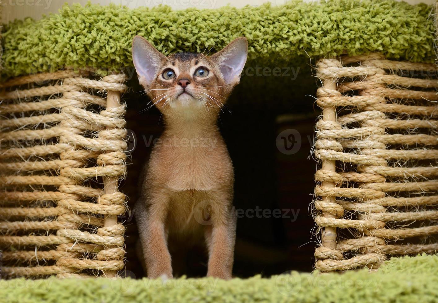 retrato de um gatinho abissínio bonito foto