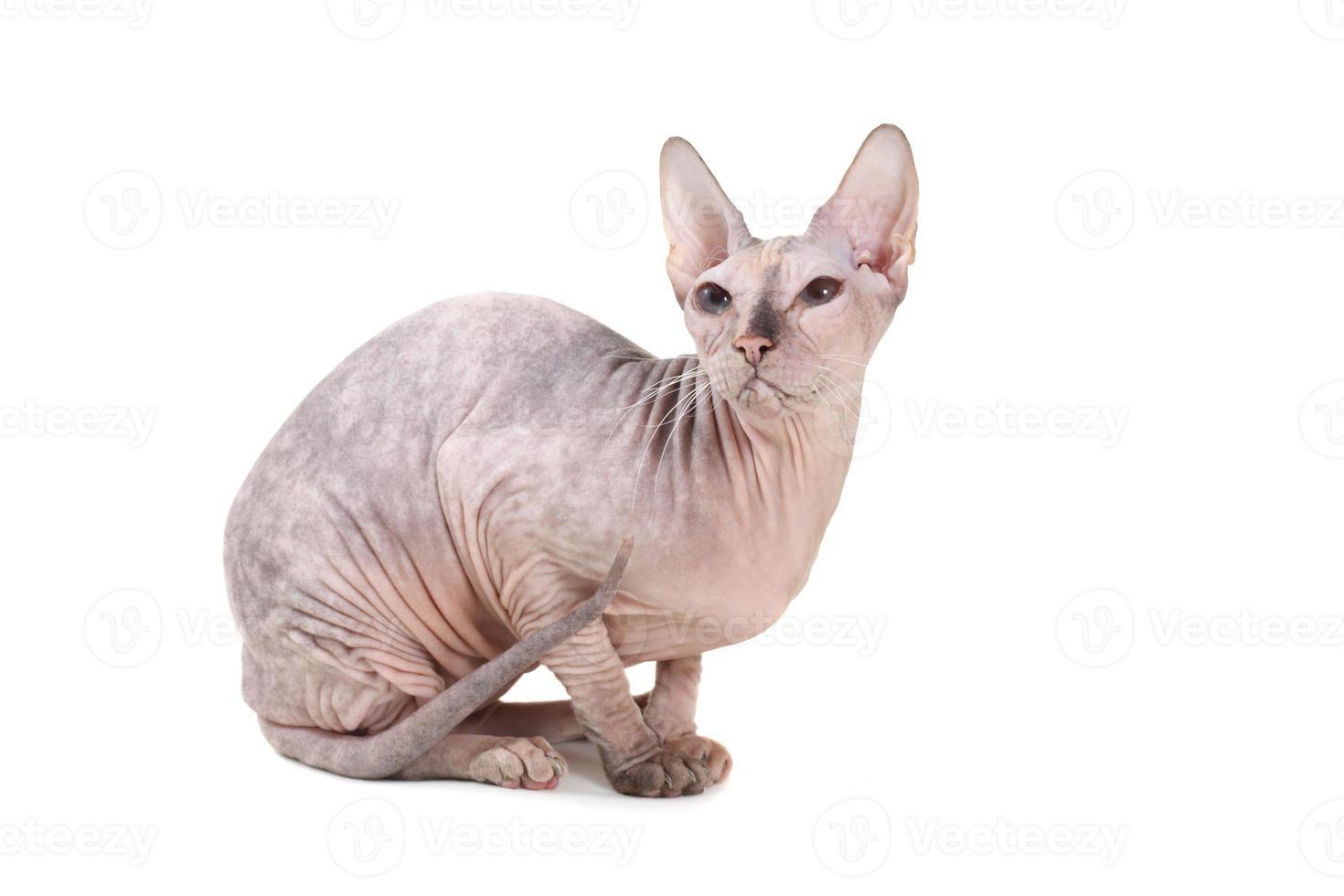 raça de gato sphynx sem pêlos foto