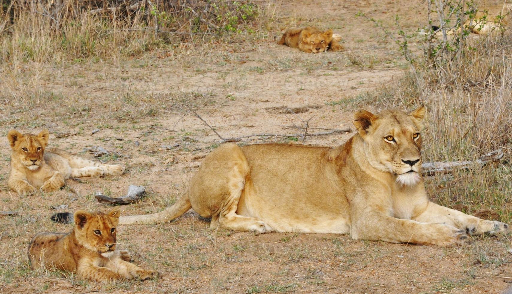 mamma leão foto