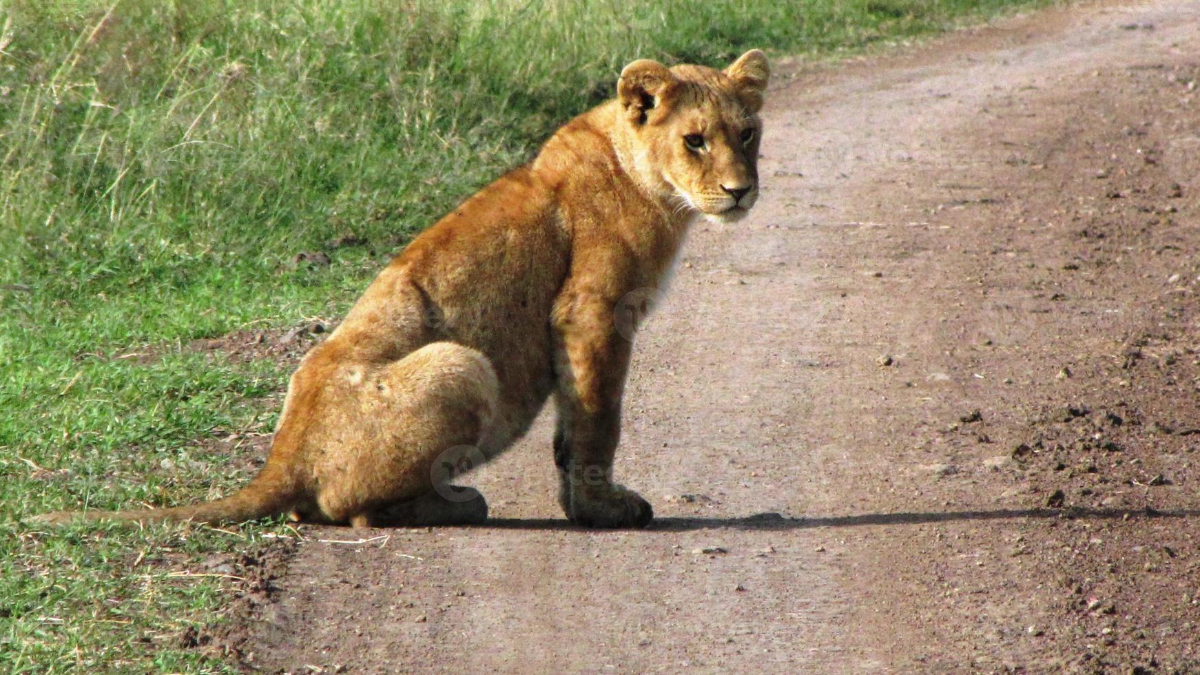 filhote de leão em masai mara foto