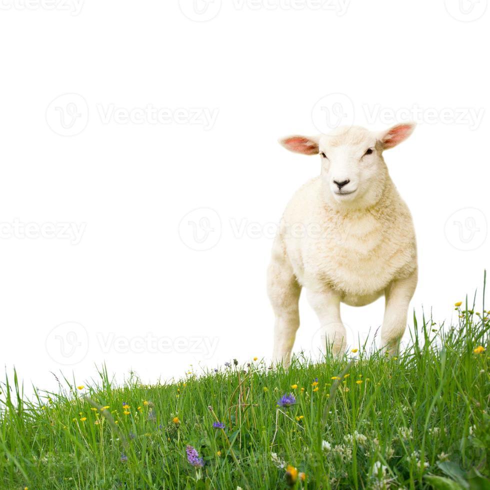 ovelha isolada foto