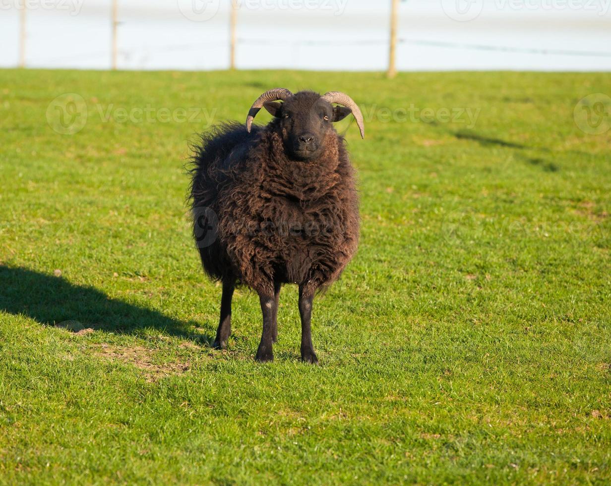 ovelha hebréia foto