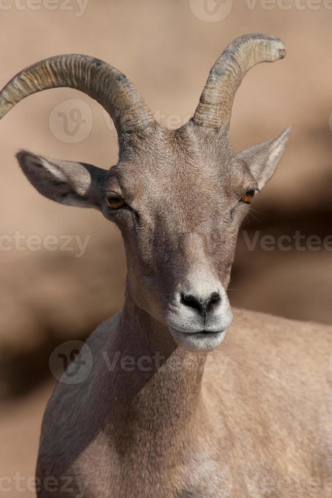 carneiro selvagem foto
