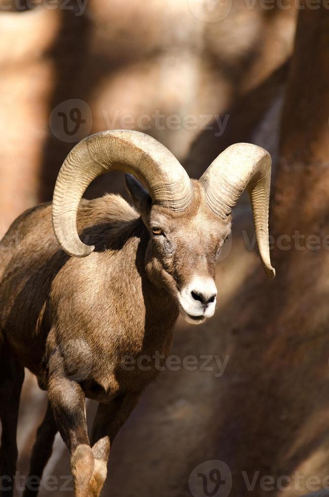 ovelha bir chifre foto