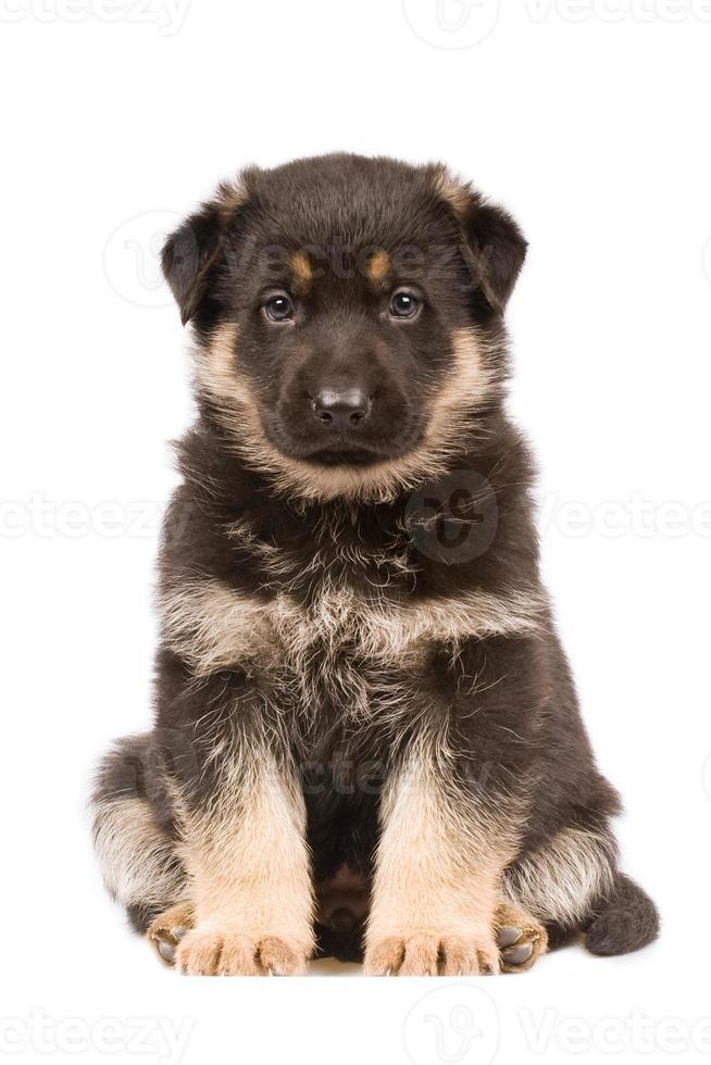 filhote de cachorro pastor alemão foto