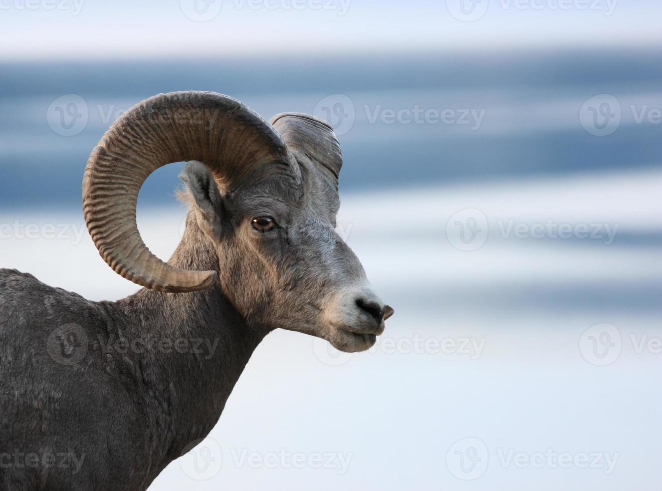 cabeça de ovelha foto