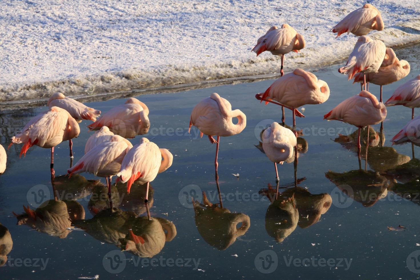flamingos foto