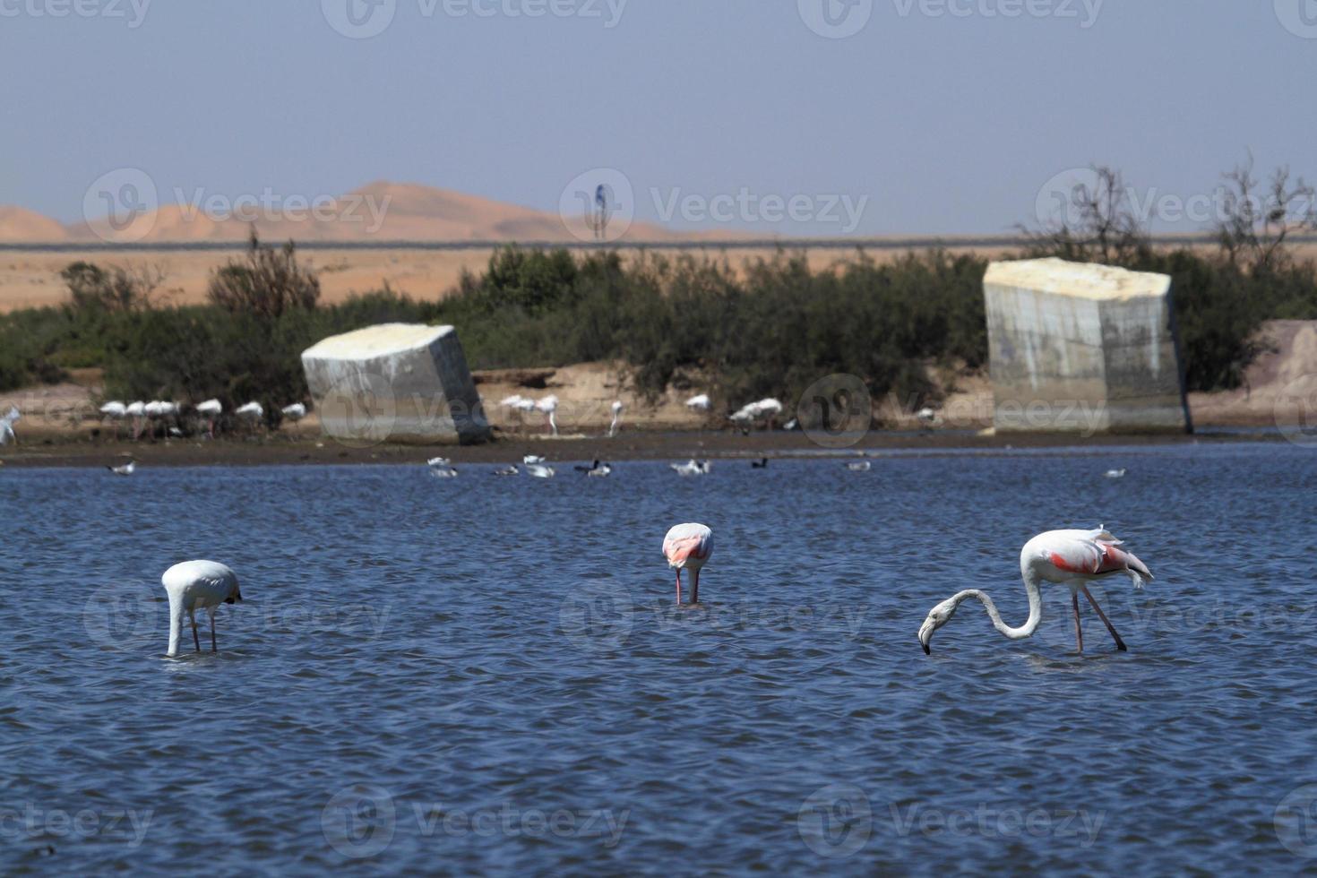 flamingos em swakopmund na Namíbia foto