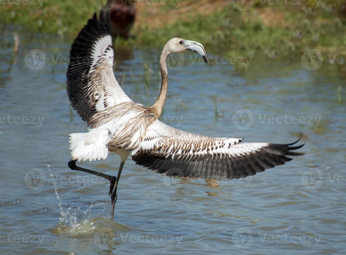phoenicopterus ruber, flamingo jovem, em ambiente natural foto