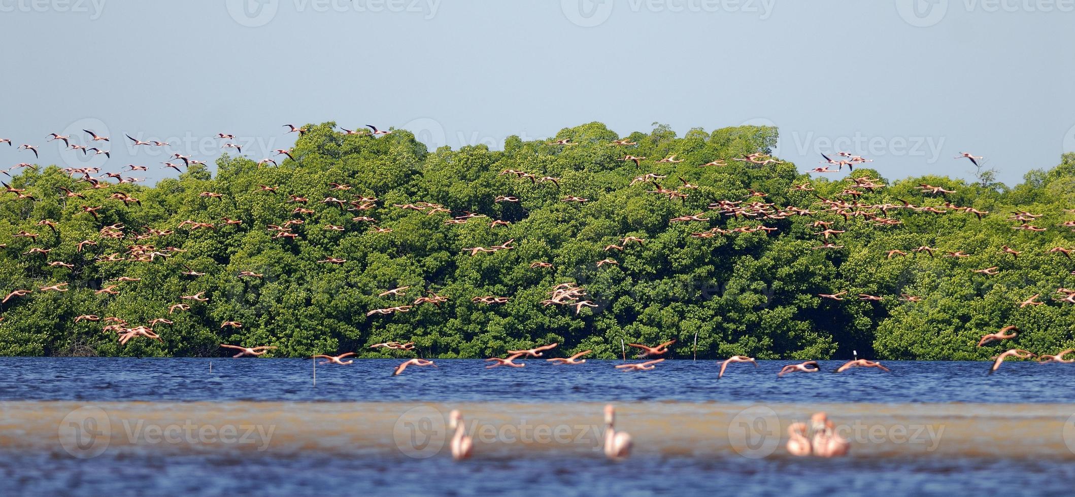 flamingos maiores foto
