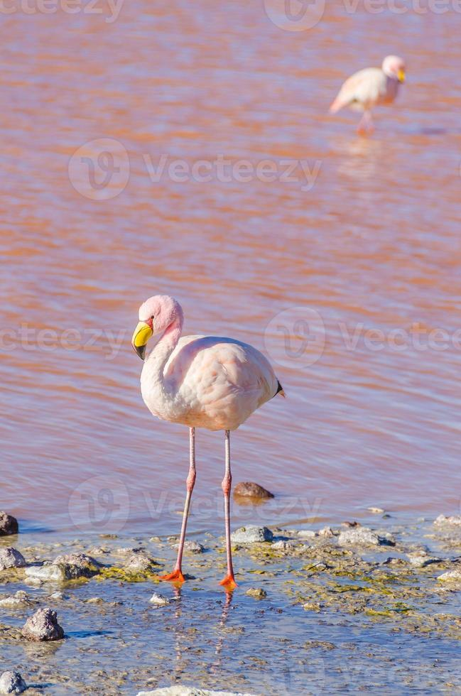 flamingo de james, salar de uyuni, bolívia foto