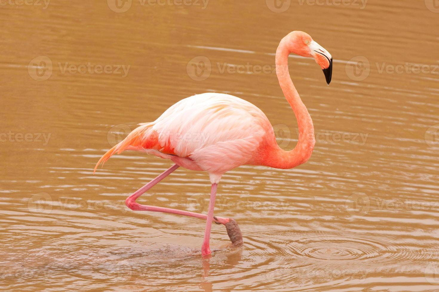 flamingo rosa (phoenicopterus ruber) foto