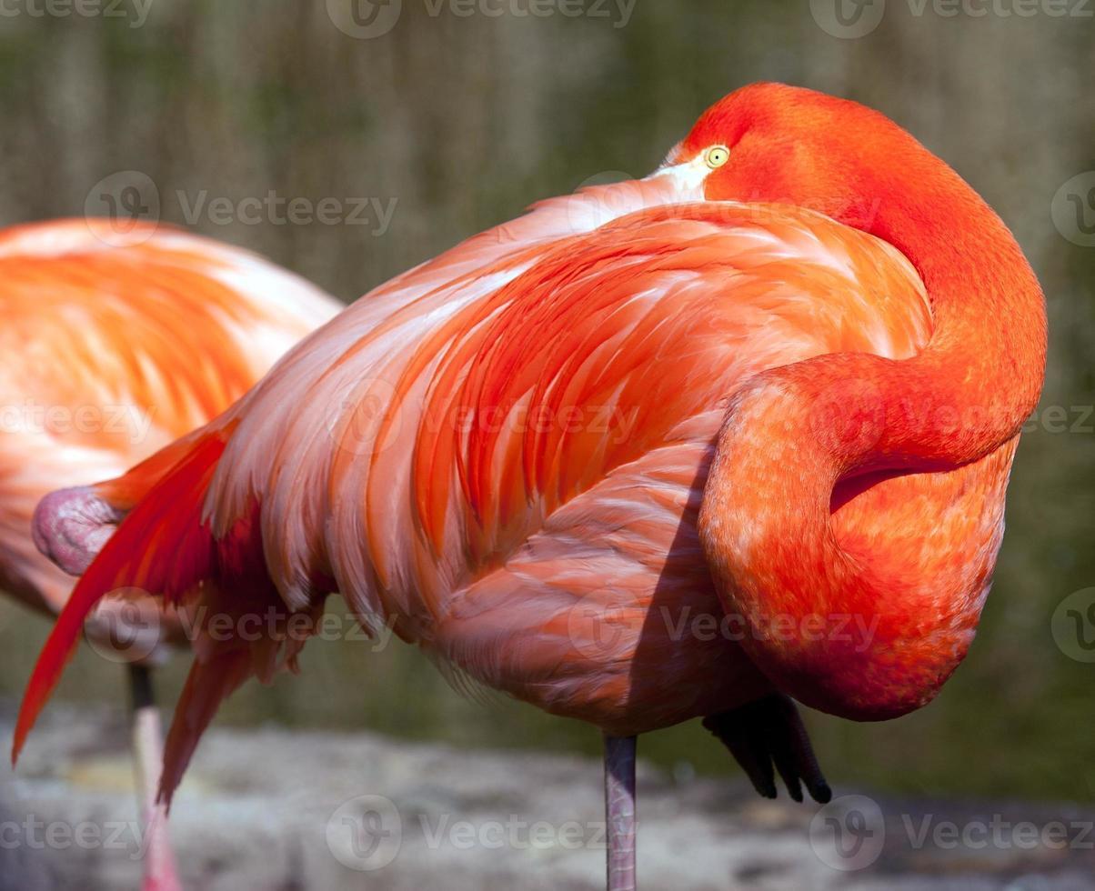 flamingo americano - phoenicopterus ruber foto