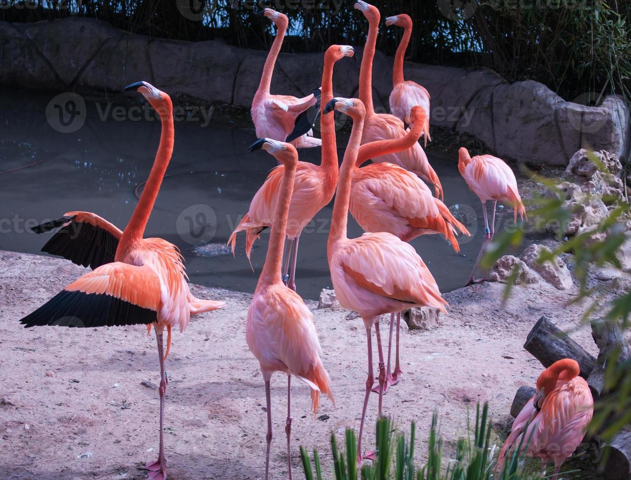 grupo de flamingos, madrid, espanha foto