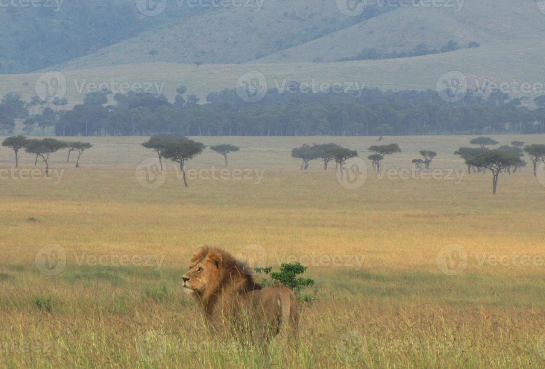 leão na reserva nacional de masai mara, quênia foto