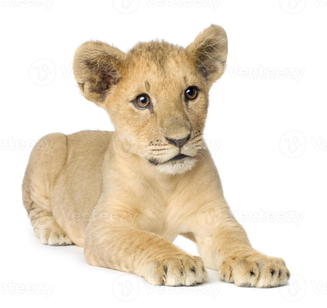 filhote de leão (4 meses) foto