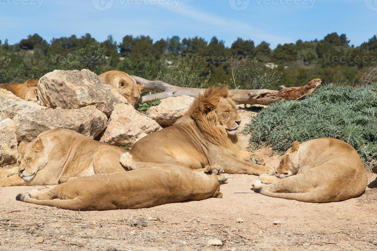 orgulho de leões foto