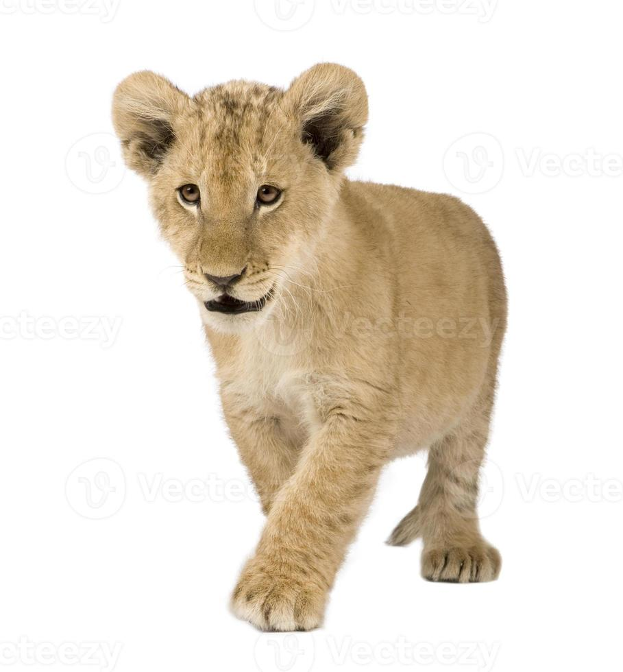 filhote de leão jovem empinando contra fundo branco foto