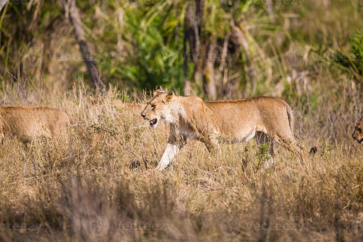 orgulho de leões andando na África foto