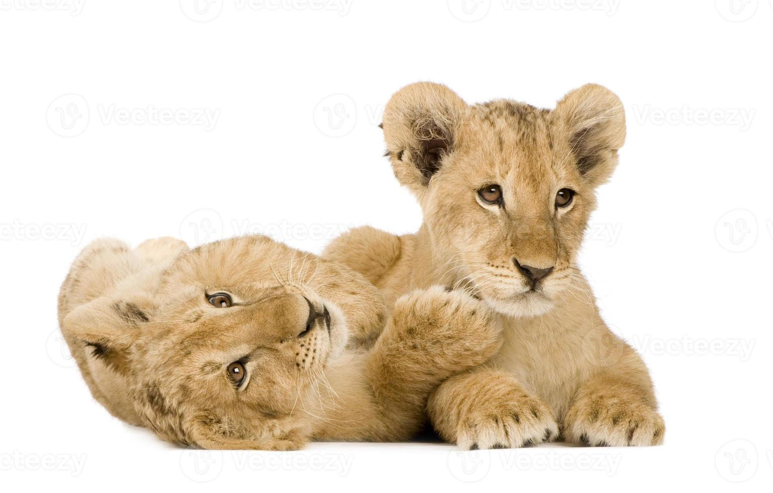 filhotes de leão (4 meses) foto