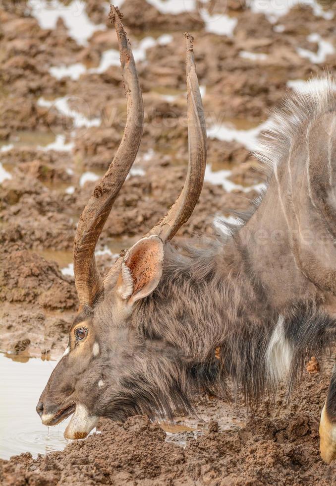 touro nyala bebendo no poço de água foto